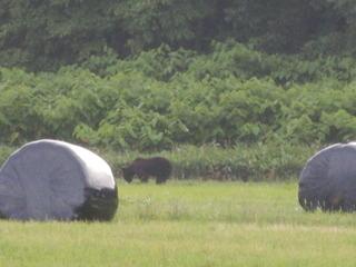 牧草地に出没するヒグマ.JPG